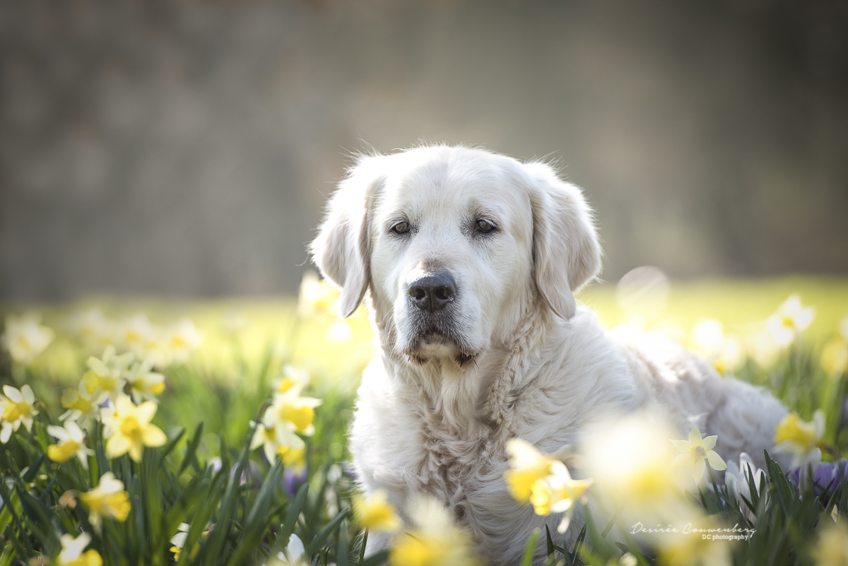 Golden retriever krokusveld foto Desiree Couwenberg