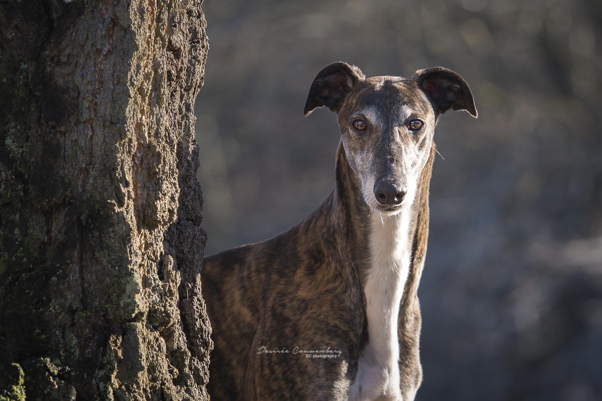 Greyhound2016 DCphoto.nl