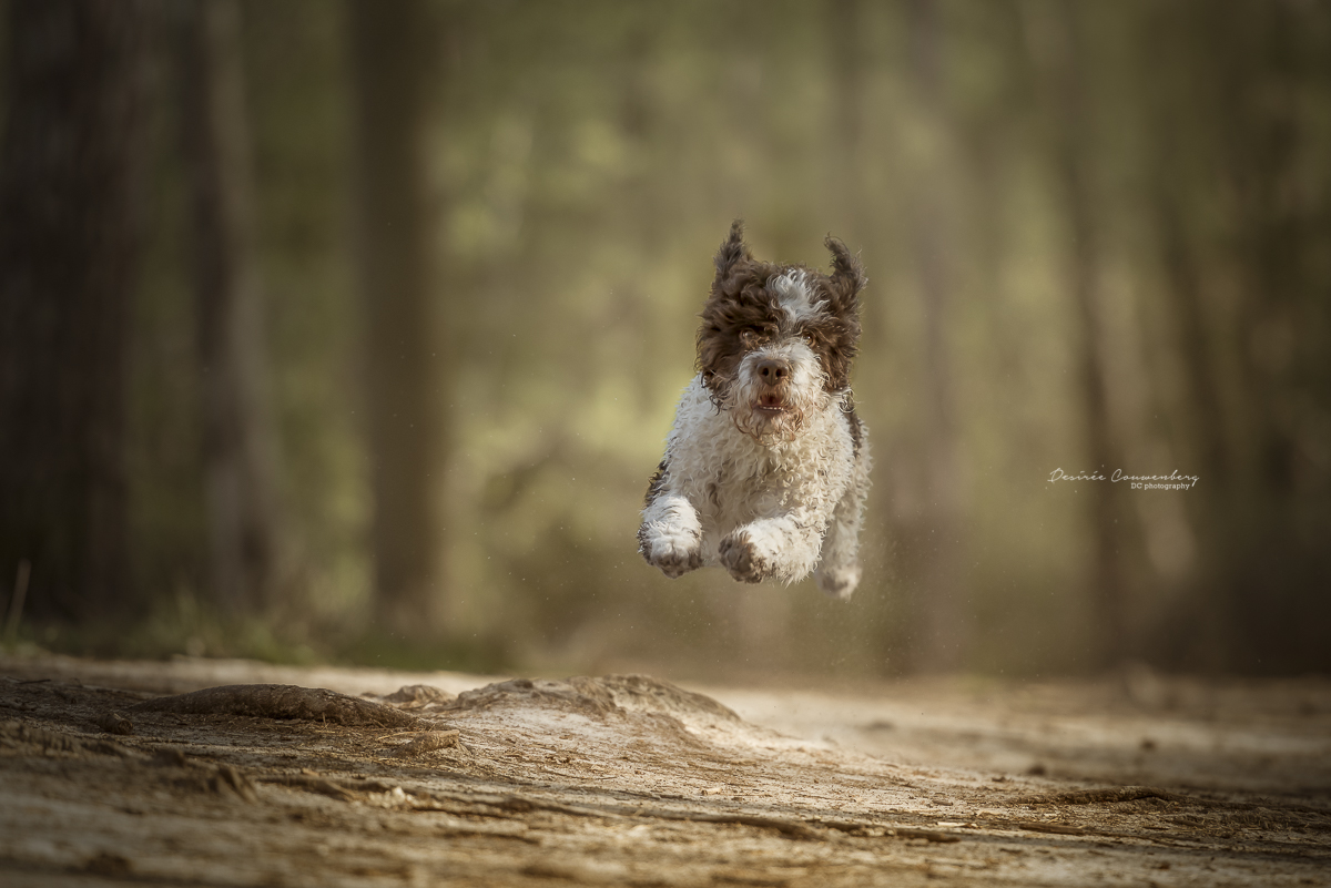 running free lagotto