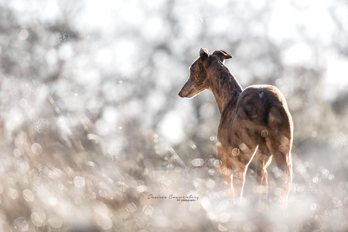Gold greyhound DCphoto.nl