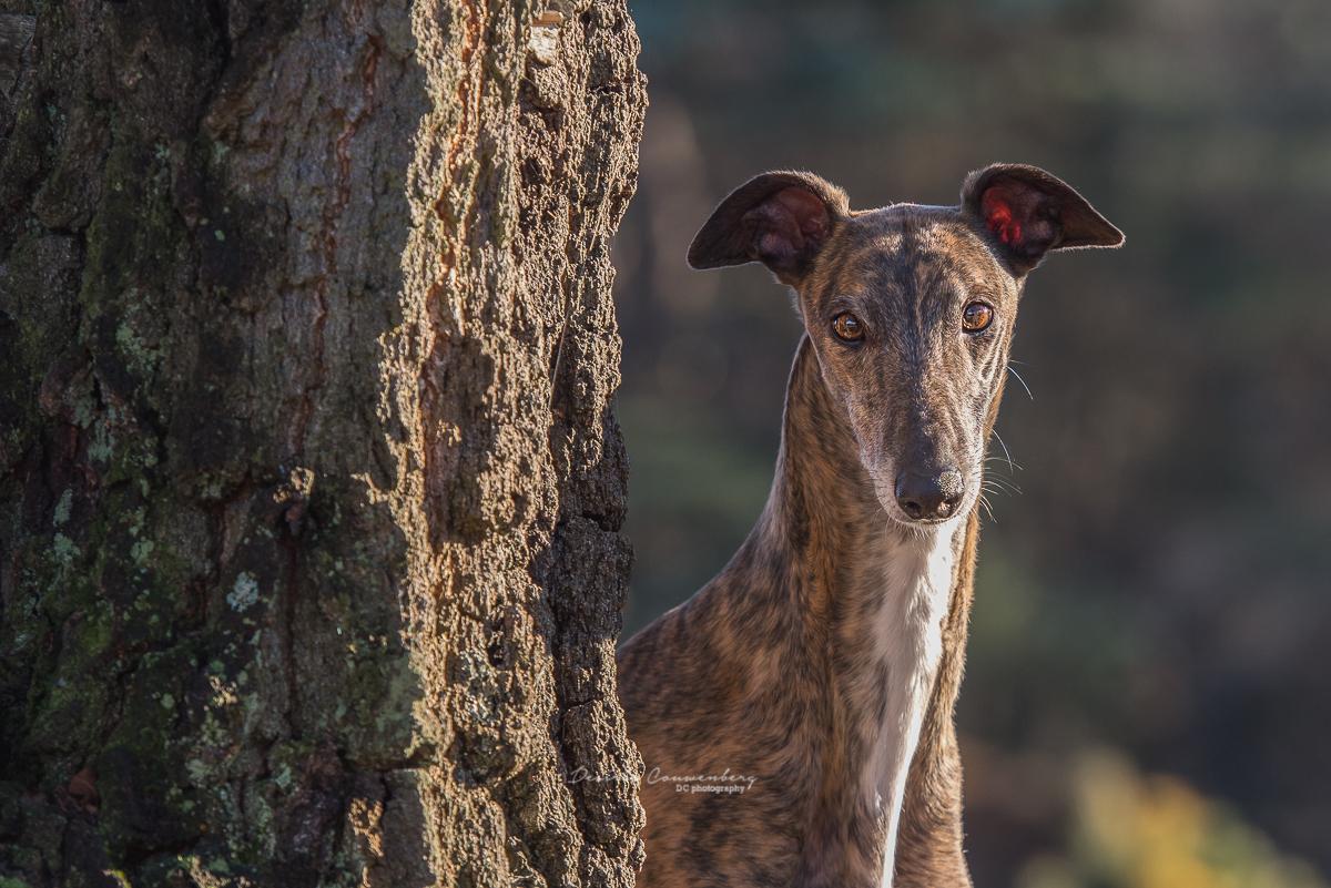 Greyhound DCphoto.nl