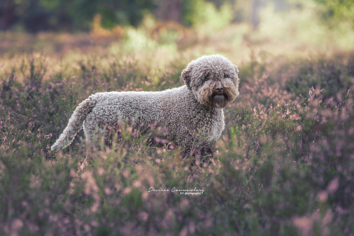 Lagotto Romagnolo brownie sunset
