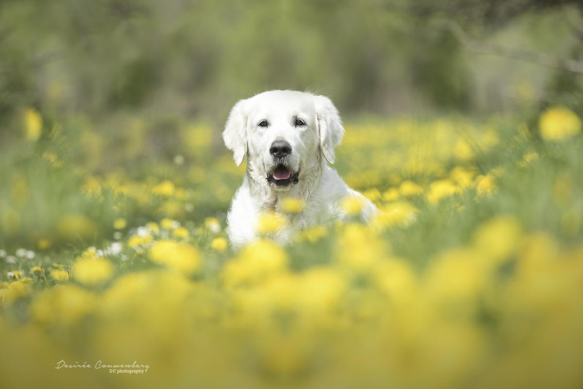 dog between the dandelions
