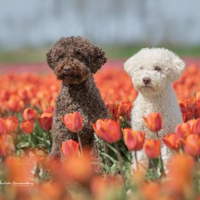 Dogs between the tulips